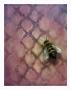 Victorian Queen Bee